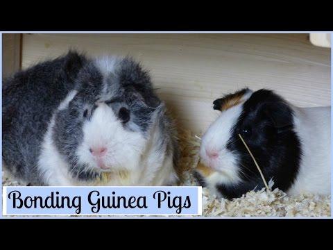 Bonding Guinea Pigs: How to Introduce Them