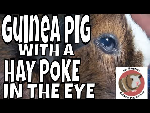 Another Guinea Pig With a Hay Poke Today