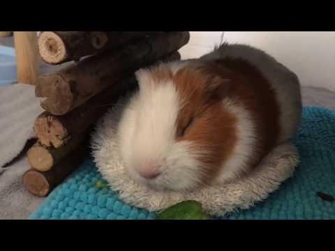 Sleeping Guinea Pigs