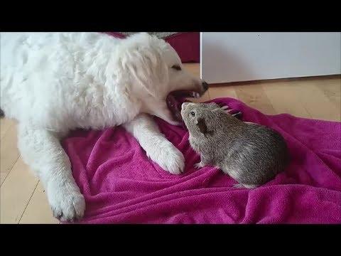 Brutal Dog vs Guinea Pig Fight