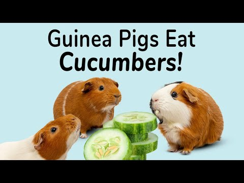 Guinea Pigs Eat! CUCUMBERS | Great summer snack for your piggies!