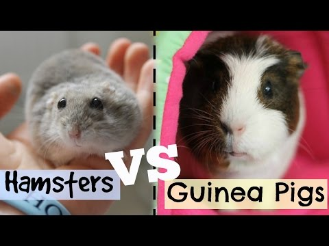 HAMSTERS VS GUINEA PIGS   Hamster HorsesandCats