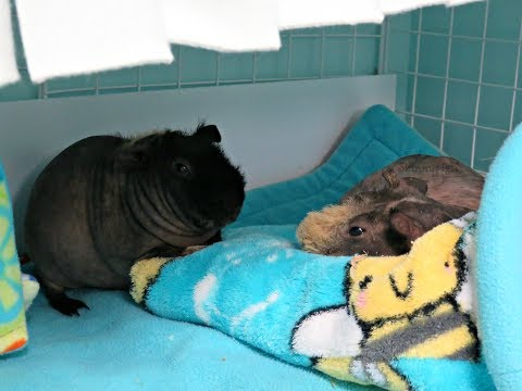 Can Male Guinea Pigs Live Together?