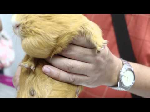 A 6-year-old female guinea pig has a left double chin Pt 1