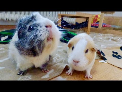 Guinea Pig Floor Time Vlog: Gatsby's First Floor Time!