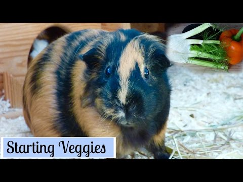 How to Start Your Guinea Pigs on Vegetables