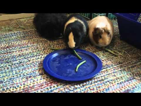 Guinea Pigs Eat Green Beans