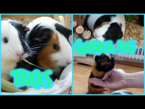 6 Tricks Any Guinea Pig Can Learn   Guinea Pig Tricks