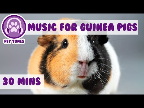 Calming and Relaxing Music for Your Guinea Pig!