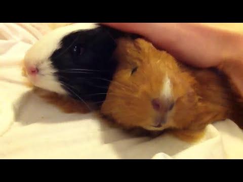 Guinea pigs purring happy