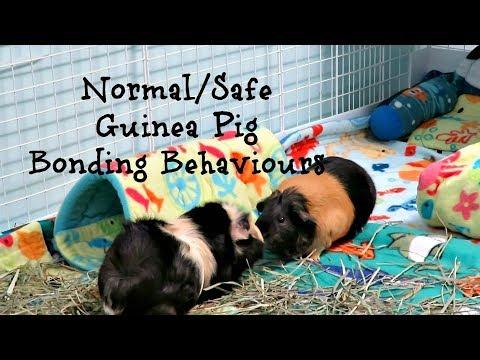 Guinea Pig Dominance/Bonding Behaviours *Live Clips*