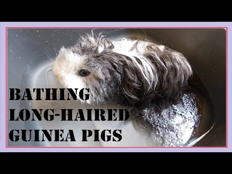 Tips for Bathing Long-Haired Guinea Pigs!