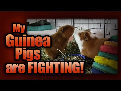 My Guinea Pigs are Fighting!