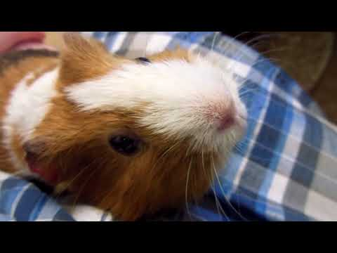 Guinea pig caughing