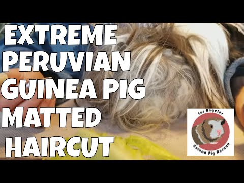 Guinea Pig Haircut with Pigtunia the Peruvian