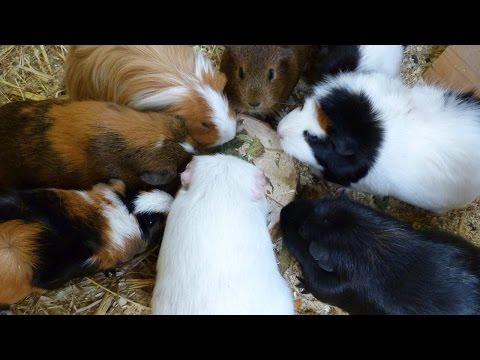 Pros + Cons of Owning Guinea Pigs