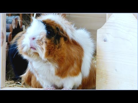 How to Keep Your Guinea Pigs Cool in Summer