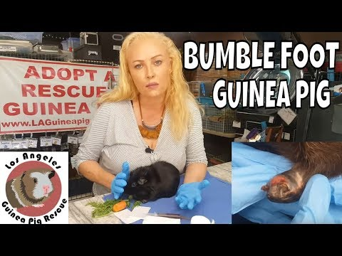 Bumblefoot in Six Year Old Guinea Pig