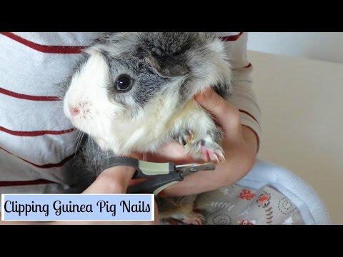 How to Trim Your Guinea Pig's Nails