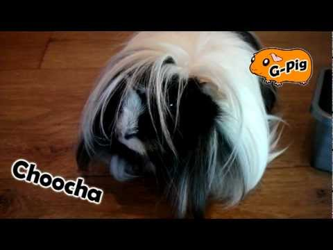 How To Brush and Comb a Guinea Pig - Guinea Pigs Weekly Grooming