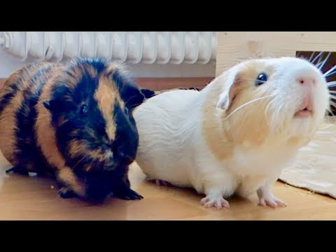 How to Make Your Guinea Pigs Happy