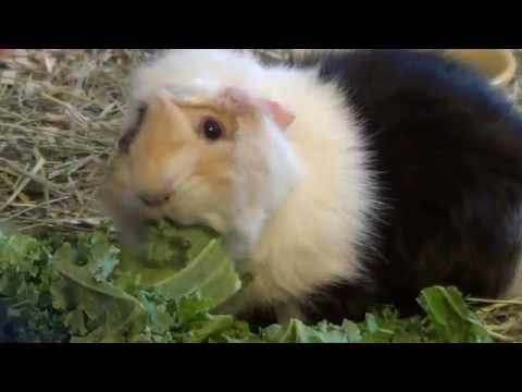 Cute Guinea Pigs Eating Kale
