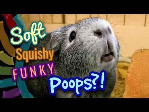 Why Does My Guinea Pig have Soft Poops? | Benebac Probiotic |