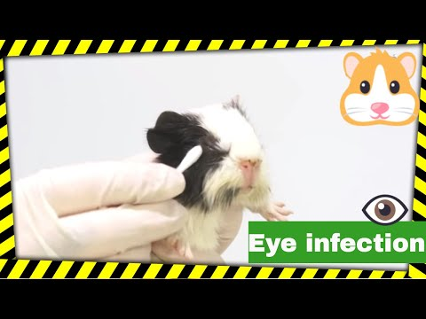 Guinea pigs eye infection, how to clean their eyes. How to treat eye infections?