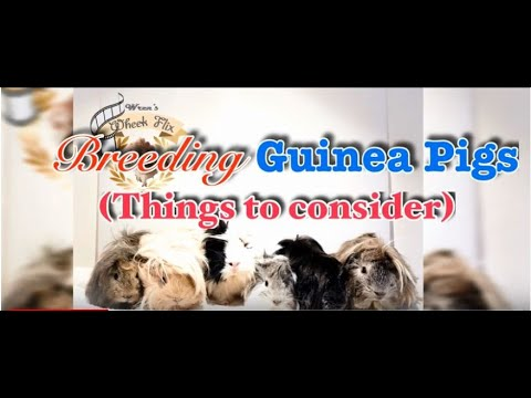Breeding| Things to Consider before Breeding Guinea Pigs