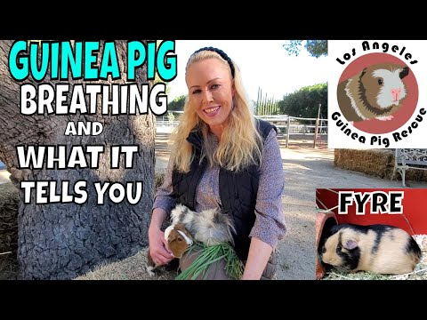 Guinea Pig Breathing And What It Tells You.