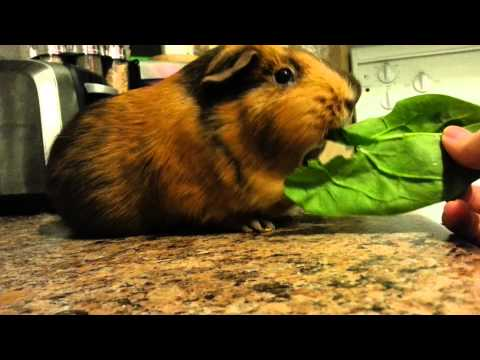 Guinea Pig eating spinach