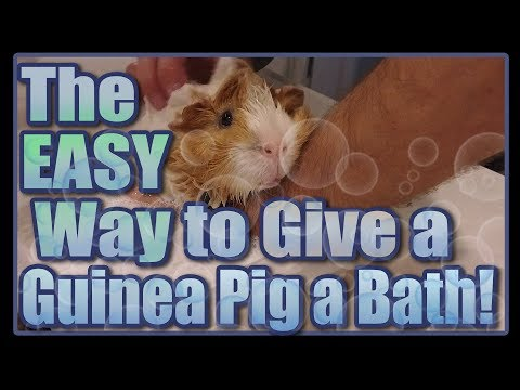 The Easy Way to Give a Guinea Pig a Bath!