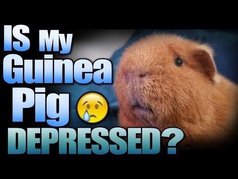 Is My Guinea Pig Depressed?