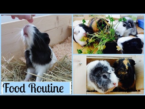 Guinea Pig Food Routine