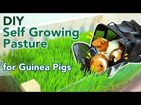 DIY Self Growing Pasture for Guinea Pigs | GuineaDad