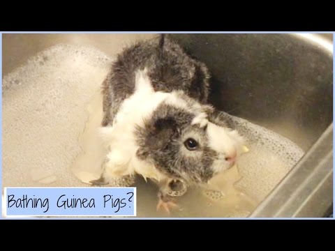 When to Bathe Your Guinea Pigs