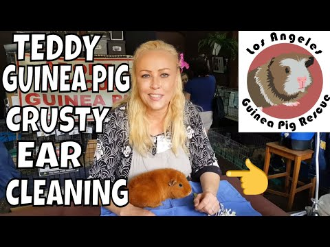 Teddy Guinea Pig Ear Dry and Crusty Ear Cleaning