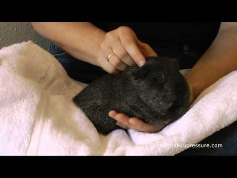 Acupressure for Guinea Pigs