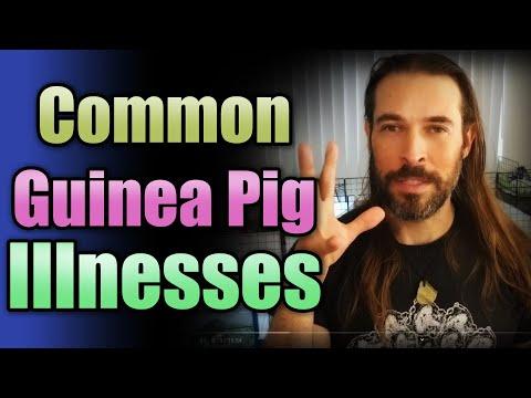 Common Guinea Pig Illnesses