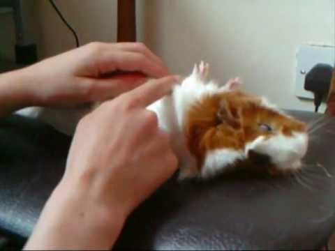 How to train your guinea pig to play dead