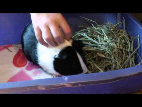 How to check a guinea pigs teeth!