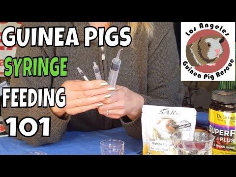 Syringe Feeding Guinea Pigs Instructions