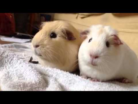 Peculiar Guinea-pigs are funny #eat their own poo