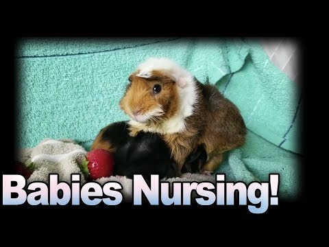 Baby Guinea Pigs Nursing and First Foods