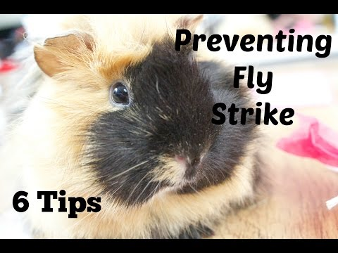 Preventing Fly Strike *6 Tips*