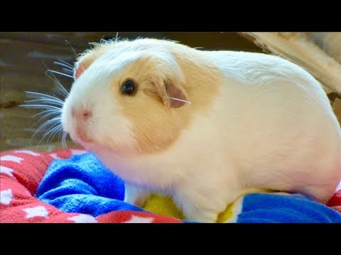 Signs Your Guinea Pig Is Scared