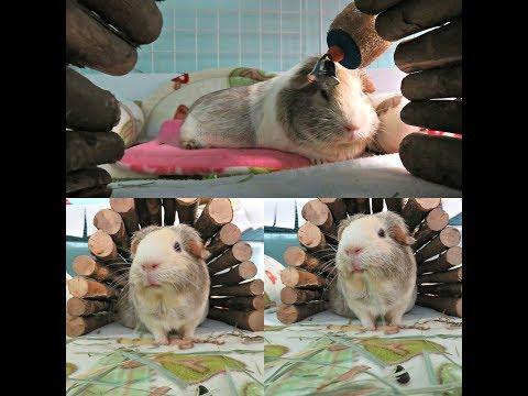 Guinea Pig Bloat Part 2: Hand Feeding, Tummy Massages