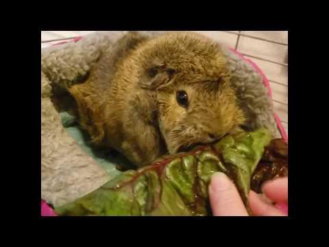 Gwynny the Guinea pig vs. red chard