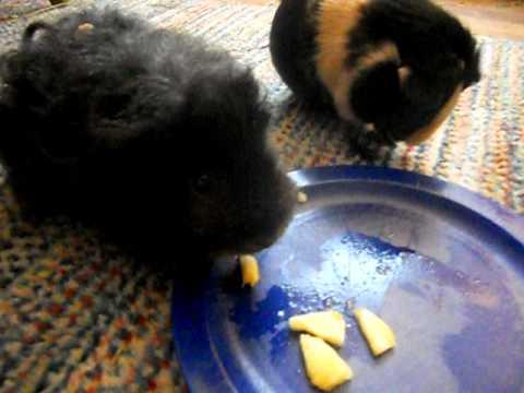 Guinea Pigs Eat Pineapple, Part 2
