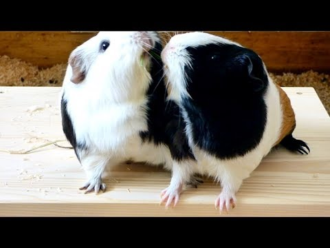6 Tips to Stop Your Guinea Pigs from Fighting
